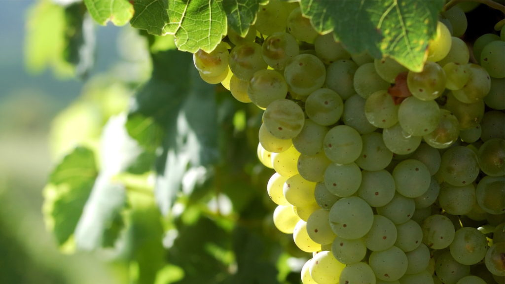 You are viewing grapes on the vine on our home page